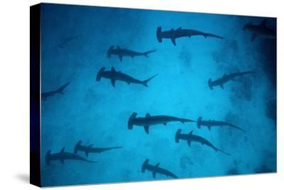 Scalloped Hammerhead Sharks These Sharks Congregate--Stretched Canvas Print