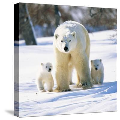 Polar Bear with Two Cubs--Stretched Canvas Print