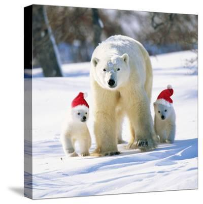 Polar Bear Parent with Cubs Wearing Christmas Hats--Stretched Canvas Print