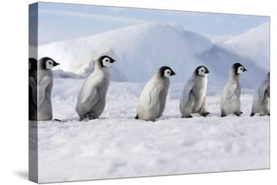 Emperor Penguins, Young Ones Walking in a Line--Stretched Canvas Print