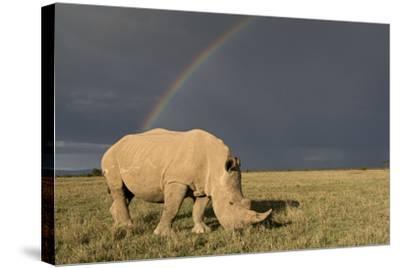 Southern White Rhinoceros Feeding with Rainbow--Stretched Canvas Print