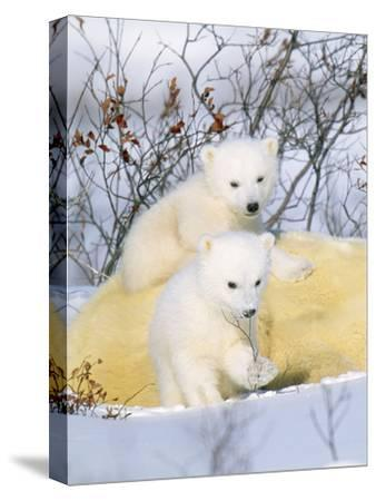 Polar Bear Cubs on Mother--Stretched Canvas Print