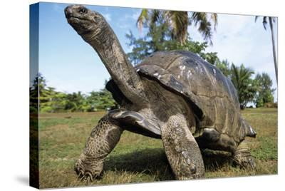 Aldabra Giant Tortoise--Stretched Canvas Print
