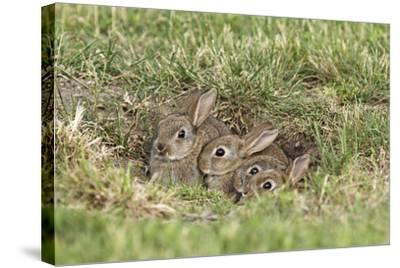 Wild Rabbits Young--Stretched Canvas Print