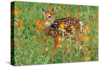 White-Tail Deer Fawn in Orange Paintbrush Wild--Stretched Canvas Print