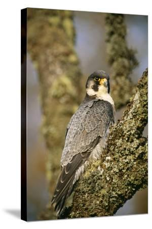 Peregrine Falcon--Stretched Canvas Print