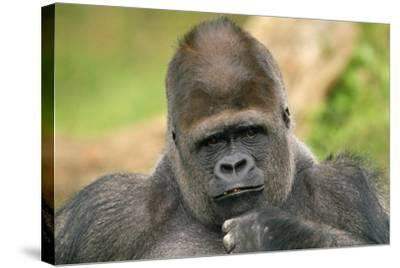 Lowland Gorilla Close-Up of Head--Stretched Canvas Print