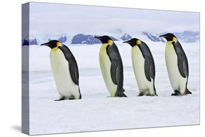 Emperor Penguin Four Adults Walking across Ice--Stretched Canvas Print