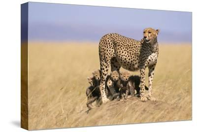 Cheetah with Four 6 Week-Old Cubs--Stretched Canvas Print