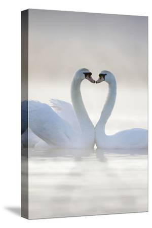 Mute Swans Pair in Courtship Behaviour--Stretched Canvas Print