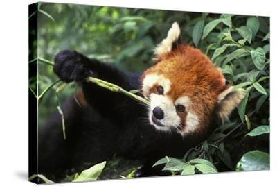 Red Cat-Bear Eating Bamboo Shoot--Stretched Canvas Print