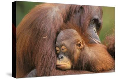 Orangutans--Stretched Canvas Print