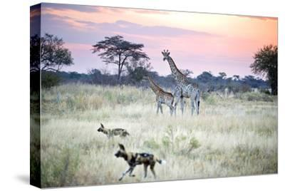 African Wild Dog Passing Giraffe Mother and Calf--Stretched Canvas Print