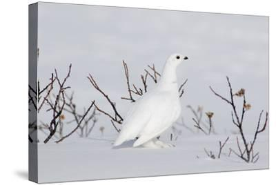 White-Tailed Ptarmigan Male in Snow--Stretched Canvas Print