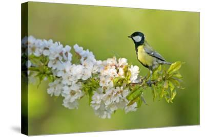 Great Tit Sitting on Blooming Cherry Tree Twig--Stretched Canvas Print