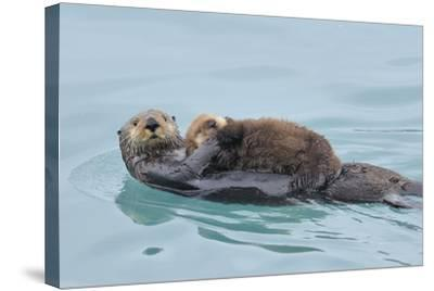 Alaskan Northern Sea Otter Mother Carrying--Stretched Canvas Print