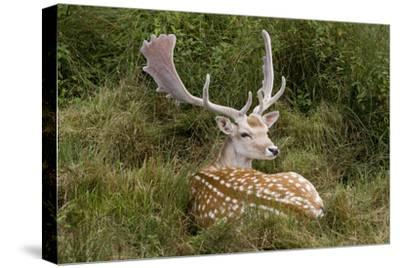 Fallow Deer Male in Velvet Resting in Undergrowth--Stretched Canvas Print