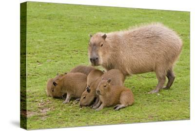 Capybara with Young--Stretched Canvas Print