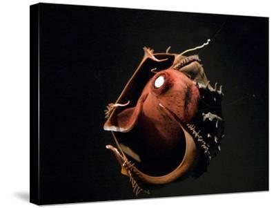 Vampire Squid Going into Opineappleo Defense--Stretched Canvas Print