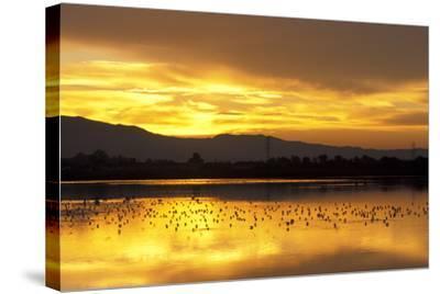 Shorebirds on Salt Pond at Sunrise--Stretched Canvas Print