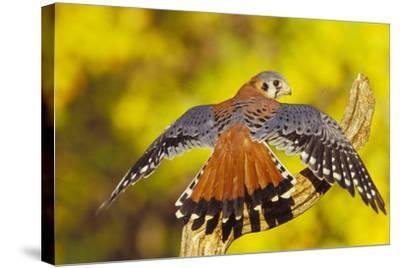 American Kestrel Displaying, Wings Oustretched--Stretched Canvas Print