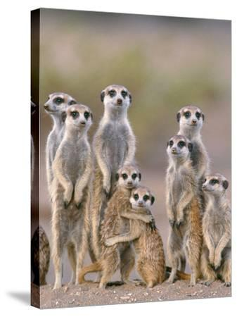 Meerkat Family with Young on the Lookout--Stretched Canvas Print