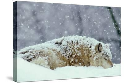 Grey Wolf Resting During Heavy Snow--Stretched Canvas Print