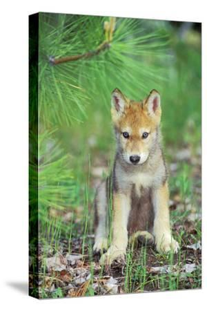Timber Wolf Pup Sitting Down--Stretched Canvas Print