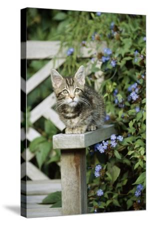 Tabby Kitten--Stretched Canvas Print
