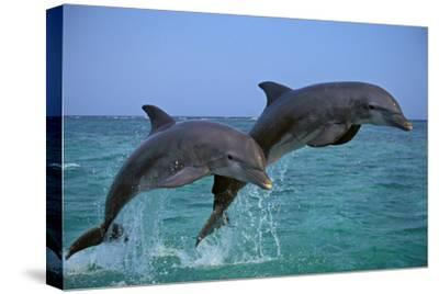 Two Bottlenosed Dolphins Jumping--Stretched Canvas Print