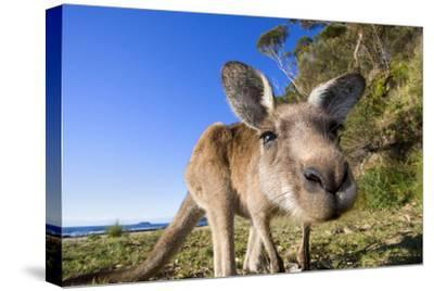 Eastern Grey Kangaroo Super Wide Angle Shot Of--Stretched Canvas Print