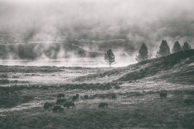 Bison Mist Landscape, Hayden Valley Yellowstone-Vincent James-Framed Photographic Print