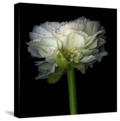 Ranunculus White-Magda Indigo-Stretched Canvas Print