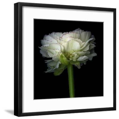 Ranunculus White-Magda Indigo-Framed Photographic Print