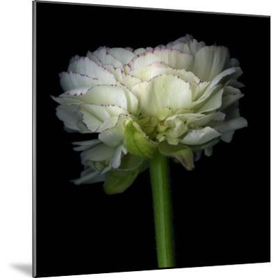 Ranunculus White-Magda Indigo-Mounted Photographic Print