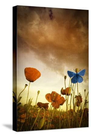 Poppies Dream-Marco Carmassi-Stretched Canvas Print