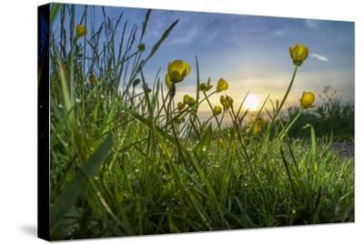 Rising Beyond the Buttercups-Adrian Campfield-Stretched Canvas Print
