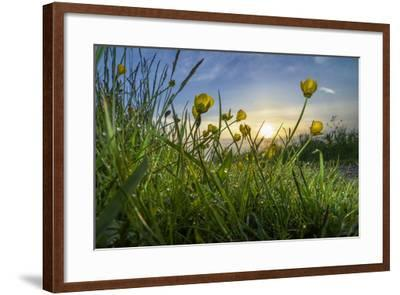 Rising Beyond the Buttercups-Adrian Campfield-Framed Photographic Print