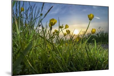Rising Beyond the Buttercups-Adrian Campfield-Mounted Photographic Print