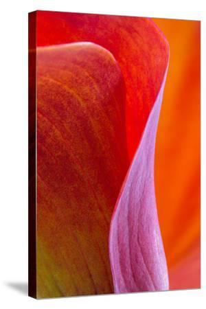 Calla Lily Curves III-Doug Chinnery-Stretched Canvas Print