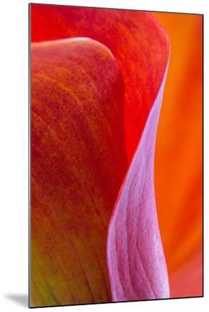 Calla Lily Curves III-Doug Chinnery-Mounted Photographic Print