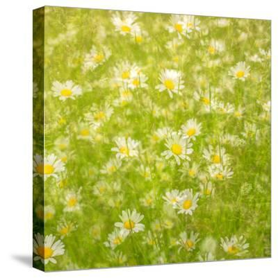 Daisy Meadow-Doug Chinnery-Stretched Canvas Print