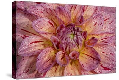 Dahlia close Up-Russell Burden-Stretched Canvas Print