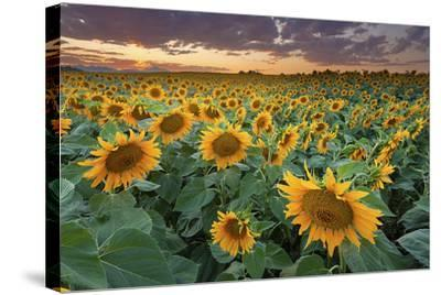 Sunflower Field in Longmont, Colorado-Lightvision-Stretched Canvas Print