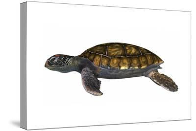 Green Sea Turtle--Stretched Canvas Print