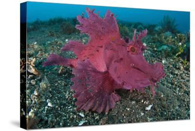 A Bright Pink-Purple Paddle-Flap Scorpionfish on Volcanic Sand, Bali--Stretched Canvas Print