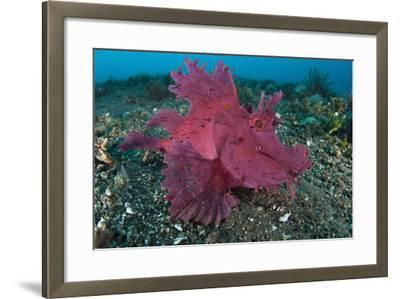 A Bright Pink-Purple Paddle-Flap Scorpionfish on Volcanic Sand, Bali--Framed Photographic Print