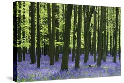 Bluebells at Dockey Wood on the Ashridge Estate-Alistair Laming-Stretched Canvas Print