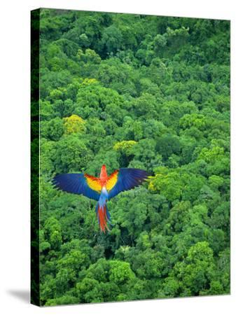 Scarlet Macaw Flying over Rainforest-Jim Zuckerman-Stretched Canvas Print