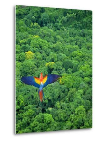 Scarlet Macaw Flying over Rainforest-Jim Zuckerman-Metal Print